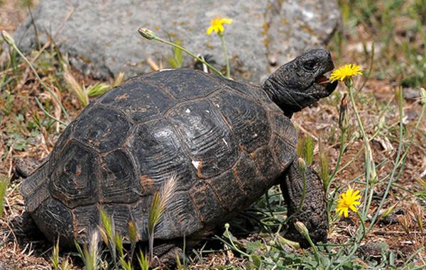 La tortue terrestre d alg rie un animal inconnu - Images tortue ...
